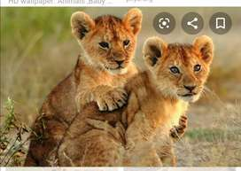 Brown lion available