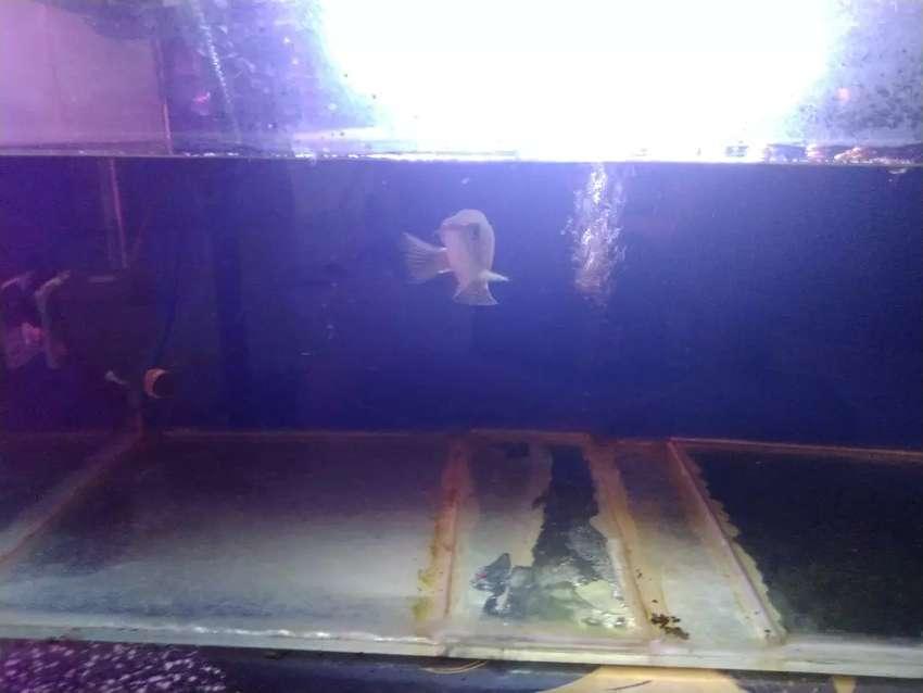 Ikan Arwana jardini 0