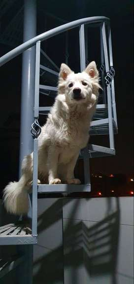 Pure breed Russian dogs also called Russian spitz