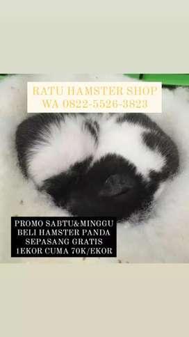 Hamster panda Syrian Super imut Udah Vaksin