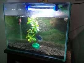 Ikan cupang seperangkat