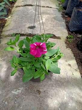 Tanaman Hias Petunia