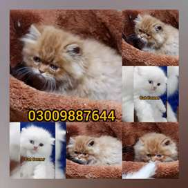 New brown white born baby kittens for sale dasing