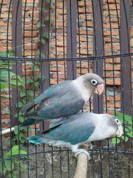 Burung Lovebird love bird euwing blue burja