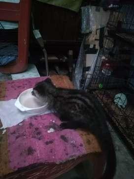 Musang Pandan 2 - 2.5 Bulan bodi cakep
