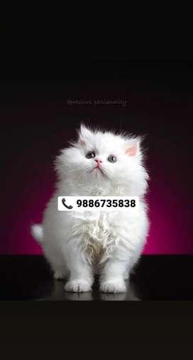 PERSIAN KITTEN'S CAT'S SIAMESE SIBERIAN RAGDOLL MAINECOON