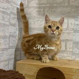 Kucing kitten munchkin red tabby