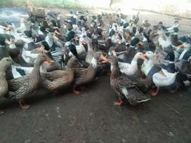 Duck eggs available daily 40 eggs fertile desi mix breed