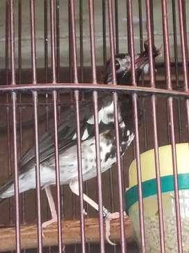 Anis Kembang Gacor