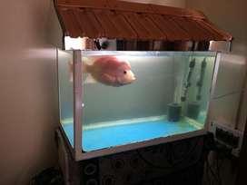 Flowerhorn fish and aquarium