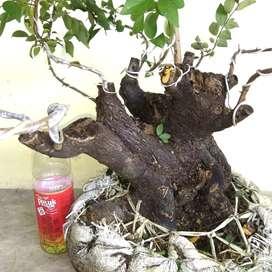 Bahan bonsai Bustam cebol