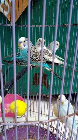 Jual Burung Parkit Bon