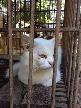 Pemacekan kucing persia