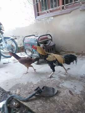 Aseel pure sindhi nasal murgi with 3 chicks