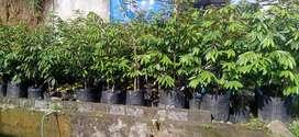 bibit tanaman buah