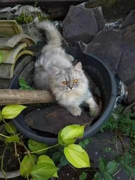 Kucing Persia flat bulu panjang jantan