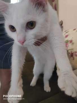 Kucing persia mix anggora