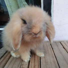 Fuzzy lop kelinci hias