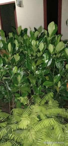 Bibit  buah nangka