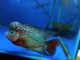 Ikan Louhan Bungas , paket komplit ( jenong , berwarna , mutiara )