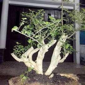 Bahan bonsai serut/streblusasper