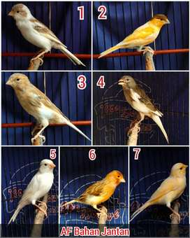 Burung kenari bahan AF sortir jantan banyak pilihan