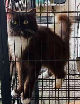 siap adopsi sepasang kucing persia usia 1,5thn