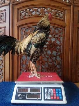 Ayam Petarung Birma langsa