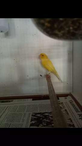Burung kenari betina af dan lokal