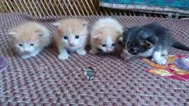Cute kittens of 1 month(Rupees.1000 each)
