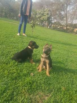 Stock coat male puppies for sale