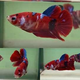 Ikan cupang koi terindah 03