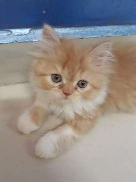 Pure Prsian semi punch Quality  kittens Red and White Colour for sale