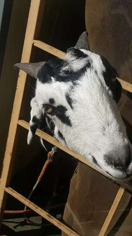 Female goat for sale