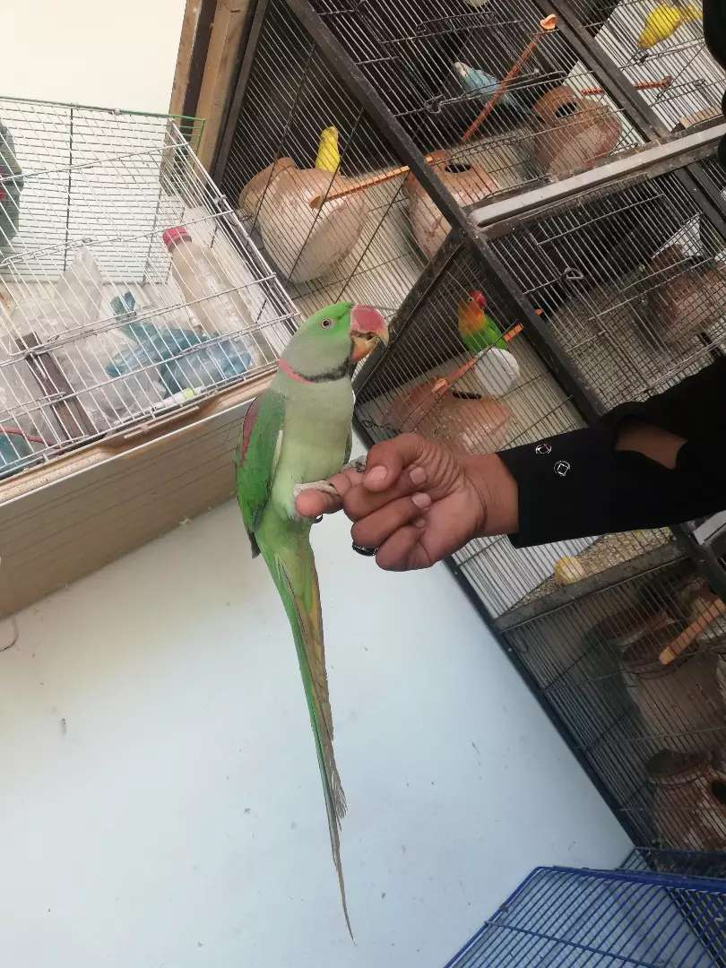 Raw Parrot Male 0
