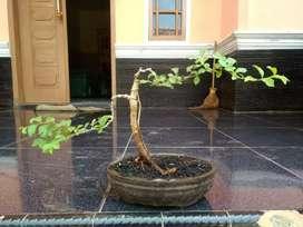 bonsai mame kaliage