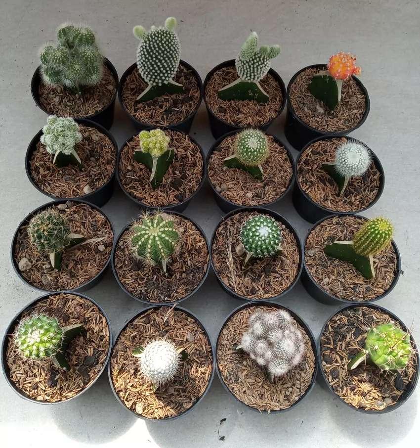 Paket kaktus 16pcs 0