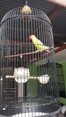 Love bird pasjo dan josan