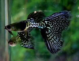 Metalic black lace guppy for sale