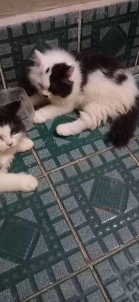 Kucing lucu gembul