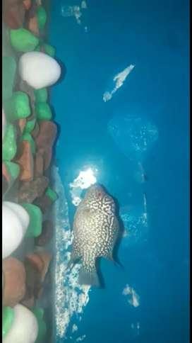 Kamfa flowerhorn full pearl over head 1.5 inches