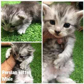 For sale persian kitten medium short hair