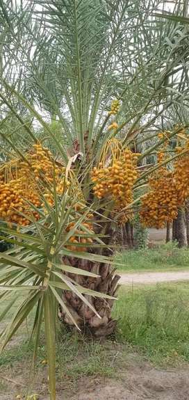 Dhakki Dates plants available for sale