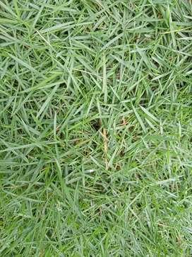 Rumput jepang plus pasang