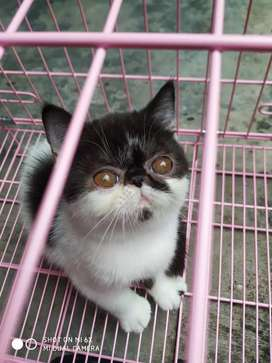 Kitten kucing persia peaknose exotic shorthair