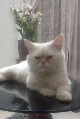Persian cat- only for studding***