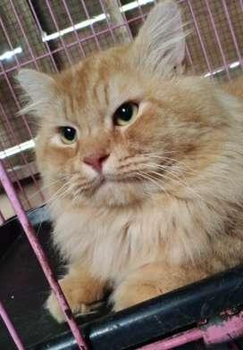 Kucing jantan persia medium