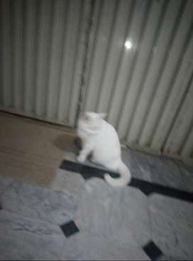 Cat female for sale