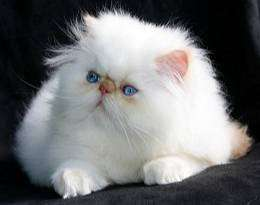 Top persian cat  kitten good linges super