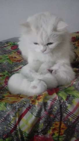 Punch Face Cats Baby For Sale Urgent
